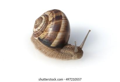 Helix, pomatia, snail