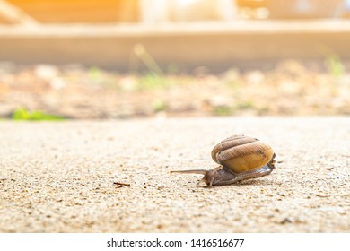 Helix pomatia, snail crawling slowly on the rough cement floor with patience expressing its resistibly efforts under sunshine, copy space