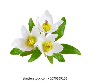 "Hellebore, Commonly known as hellebores or ""winter rose"", ""Christmas rose"" and ""Lenten rose"". Isolated."
