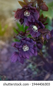 Hellebores Double Ellen Purple bloom in late winter to early spring. Hellebores evergreen perennial flowering plant. Lenten hellebore care in the garden.