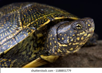 The Hellenic Pond Turtle (Emys orbicularis hellenica) is a beautiful European pond turtle species.