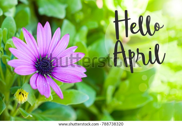 Hello April Wallpaper Purple African Daisy Stock Photo Edit Now