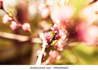 Hello blooming spring flower. Spring blooming cherry tree in the garden, multicolored natural pink flowers. Selective focus nature.