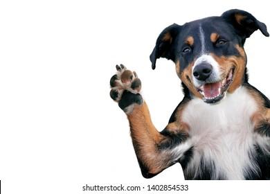 hello goodbye high five dog, Appenzeller Mountain Dog