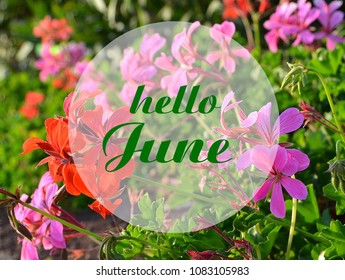 Hello June welcoming card with hand written lettering on natural floral geraniums blurry background.Selective focus.