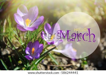 Hello March Wallpaper Spring Garden Background Purple Flowers