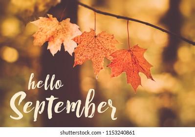 Hello September card. autumn maple leaves. autumn forest. beautiful autumn natural landscape. selective soft focus.