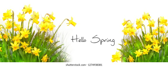 Hello Spring. banner holiday flowers background. Narcissus flower on white background. beautiful spring season scene with Narcissus. design element for spring holiday, Easter.