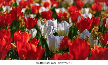 Hello Spring! Colorful Bright Orange and White Blooming Tulips and Narcissi on the Flowerbed in the Sun