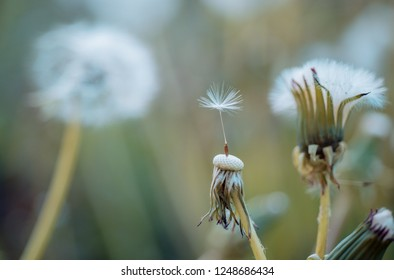 Hello summer. Beauties of nature. Wild dandelion on summer day. Dandelion flower seeds blowing away. Blowball. Taraxacum flower on nature landscape. Summer nature. Flowering plant.