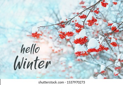 Hello Winter. Rowan tree in snow. winter frozen trees. beautiful winter season concept