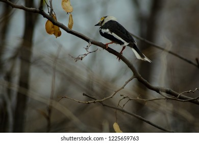 Helmet shrike perched perched on a tree branch in Botswana