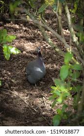 Helmeted guinea fowl bird wondering in the bush