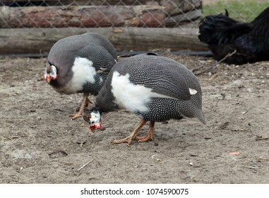 The helmeted guineafowl (Numida meleagris), Numididae. Birds in barnyard.