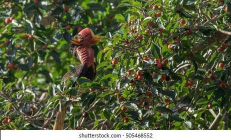 The helmeted hornbill is a peculiar looking and very rare bird that is killed for its incredibly valuable 'red ivory' in Southeast Asia. The bird, which is now critically endangered due to poaching