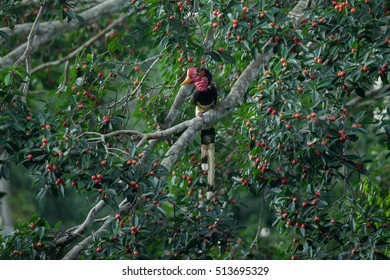 Helmeted Hornbill(Buckeroos vigil) male with fruit on the branch in nature at Hala-bala National Park ,Southern Thailand