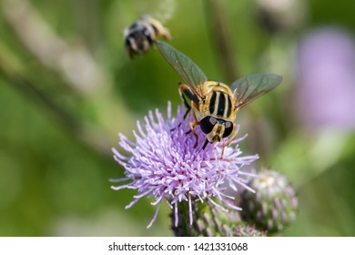 Helophilus trivittatus, a species of Palearctic hoverfly  feeding nectar on a thistle blossom