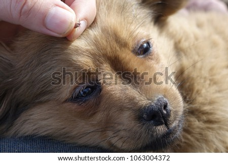 Help Clean Ticks Dogs Stock Photo Edit Now 1063004372 Shutterstock
