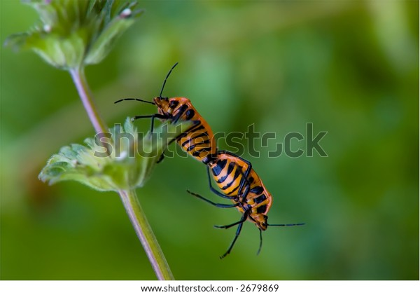 help me - two shield beetles on a plant with one hanging down