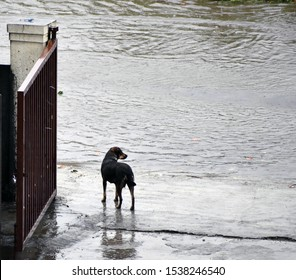 A helpless black dog standing besides a road filled with water due to heavy rain with visible metal gate