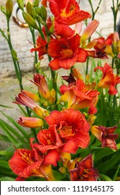 Hemerocallis or daylily lily red flowers vertical