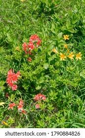 Hemerocallis dumortieri var. esculenta and Rhododendron molle var. glabrius in Oguninuma Pond