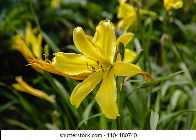 Hemerocallis flava known as lemon daylily with beutiful yellow flowers in garden, natural background