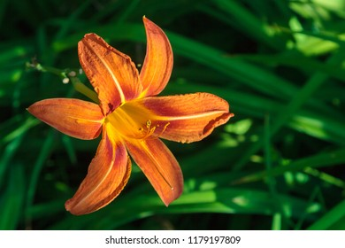 Hemerocallis fulva, the orange daylily, tawny daylily, tiger daylily, fulvous daylily or ditch lilyflower on a blurred green background. Lily in the garden in the afternoon. Side view.