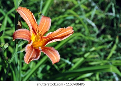 Hemerocallis fulva, the orange, tawny, tiger or fulvous daylily, ditch lily (also railroad, roadside, outhouse lily, and washhouse lily) bloming flower with buds, top view, green leaves background