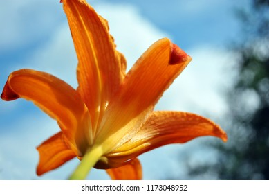 Hemerocallis fulva, the orange, tawny, tiger or fulvous daylily, ditch lily (also railroad, roadside, outhouse lily, washhouse lily) bloming flower back view, blurry sky and leaves background