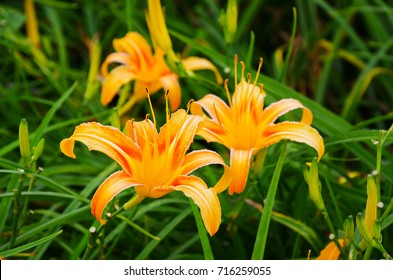 Hemerocallis fulva,Orange Daylily,The Orange daylily flower at sixty stone mountain, Fuli, Hualien, Taiwan