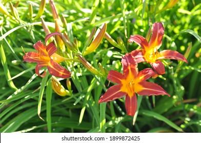 Hemerocallis hybrida: daylily flowers bloom in early summer in the garden