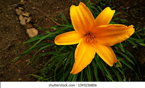 Hemerocallis minor, is also known as dwarf daylily, grassleaf lily and small daylily. It is native to northern Asia. The plant grows up to 0.5 m high. Its wide yellow flowers are scentless.