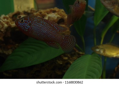 Freshwater Aquarium Fish Melanotaenia Boesemani Boesemans Stock