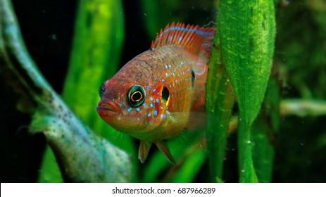 Hemichromis lifalili is hiding into the underwater plants