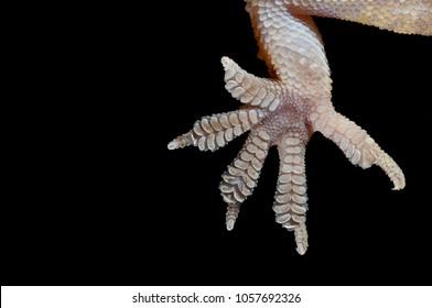 Hemidactylus turcicus foot (mediterranean house gecko)
