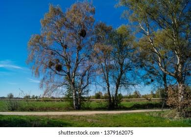 hemiparasitic mistletoes in a birch tree
