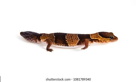 Hemitheconyx caudicinctus - a juvenile African fat-tailed gecko walking around. The colorful animal is isolated on a white background. The stiped, young, friendly looking reptile seems to be smiling.