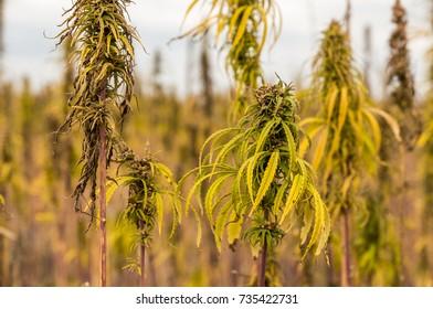 Hemp bush. Close-up. Field. Leaves