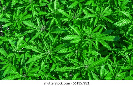 Hemp cannabis bright green texture