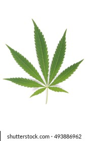 Hemp (cannabis) isolated on white background