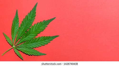 Hemp or cannabis leaf bright coral background. Top view, flat lay. Template or mock up.