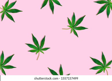 Hemp or cannabis leaf isolated on light pink background. Top view, flat lay. Pattern background with green leaves. Herbal alternative medicine and cannabis concept