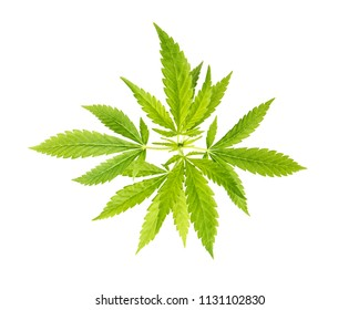 Hemp cannabis marijuana