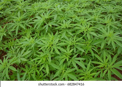 Hemp. Cannabis sativa L. Grown in north of Thailand,  Planted for fiber and seeds harvest. Top view.