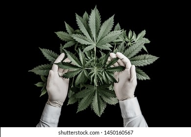 hemp CBD, Growing cannabis indica, marijuana vegetation plants, cultivation cannabis, background green, marijuana leaves, top view