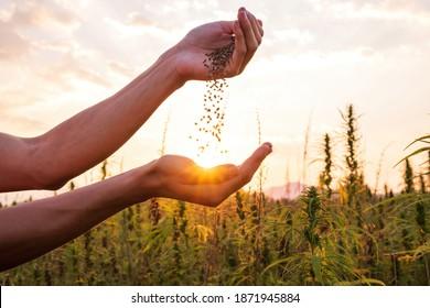 Hemp farmer holding Cannabis seeds in hands on farm field outside.
