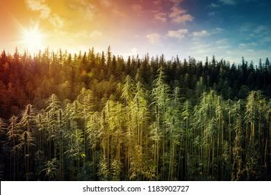 Hemp Field. Colorful SunsetSky and Landscape with Grass - Marijuana Plants.