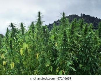 hemp field detail in cloudy ambiance