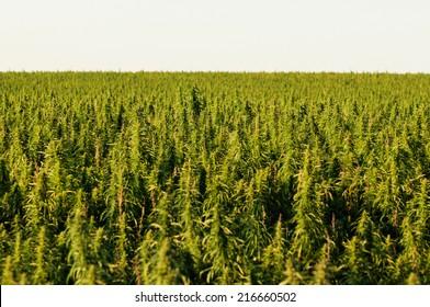 hemp field on the prairies